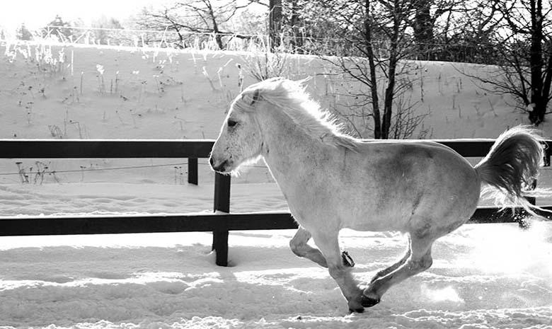 Häst som galopperar